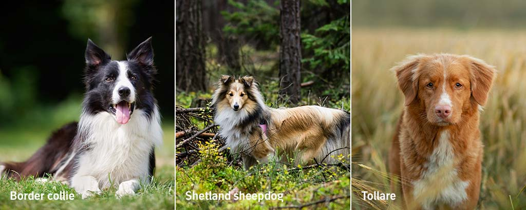 border collie, shetland sheepdog och tollare